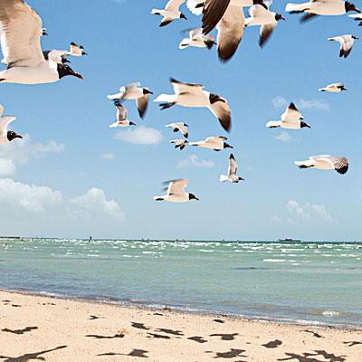 A flock of birds glide over Rockport's beach