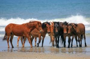 Wild Horses in Corolla
