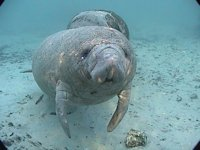 Manatee's at Crystal River