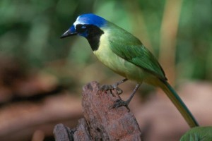 photo of a green jay, the official bird of McAllen. Photo > courtesy McAllen Chamber of Commerce