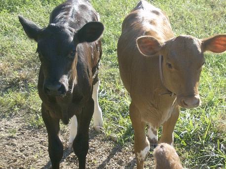 sweet-home-calves