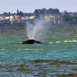 Spotting the Rarest Whale on Earth