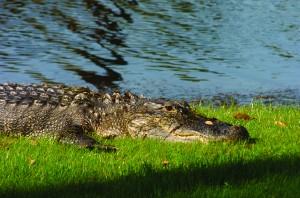 Alligators are common on Kiawah Island
